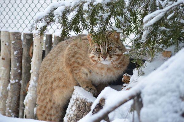 дику вдачу далекосхідного кота