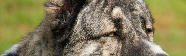 Arménsky vlčiak (gampr): popis plemena, starostlivosť, údržba, výber šteniatka