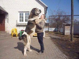 Arménsky vlkodav gampr - plemeno veľkých a silných psov