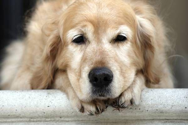 Artritída u psov: typy chorôb a liečby