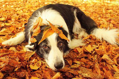 Artritída u psa
