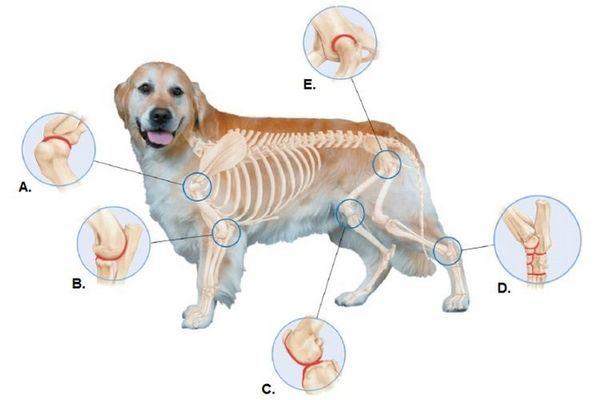 Схематичне зображення суглобів собаки