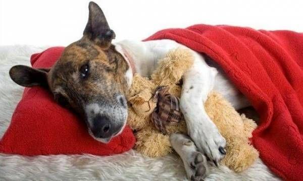 Ascites u psov: príčiny, príznaky a liečba