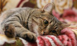 Ascaris u mačiek a ako s nimi zaobchádzať