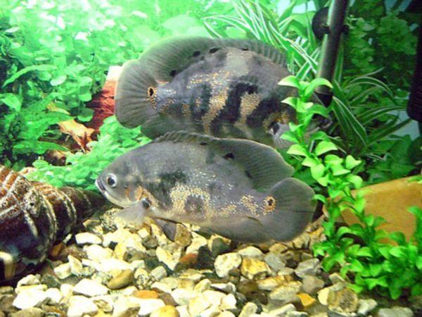 Популярна риба астронотус