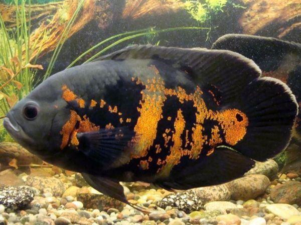 Вид риби астронотус