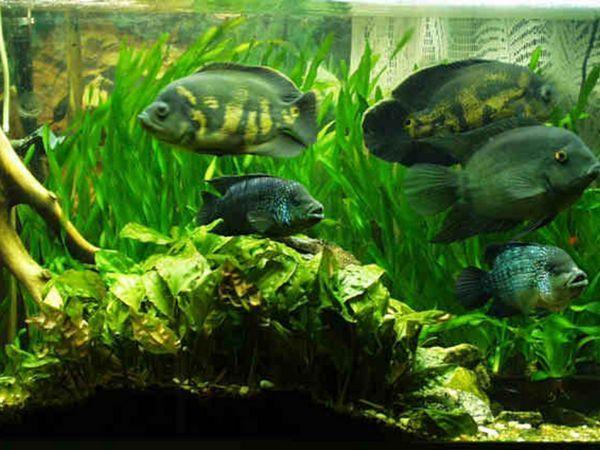 риба астронотус