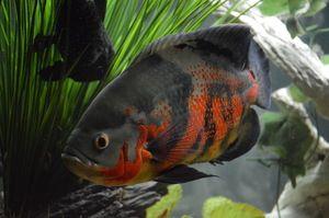 Опис риб астронотусов