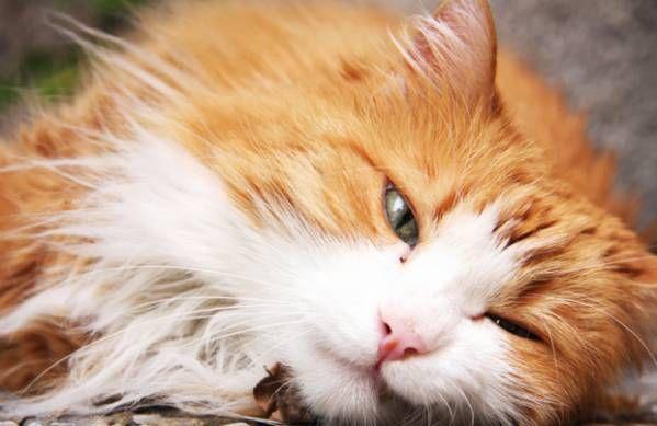 Ataxia - narušená koordinácia pohybov u mačiek