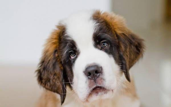 Atonia u psov - prehľad o chorobe