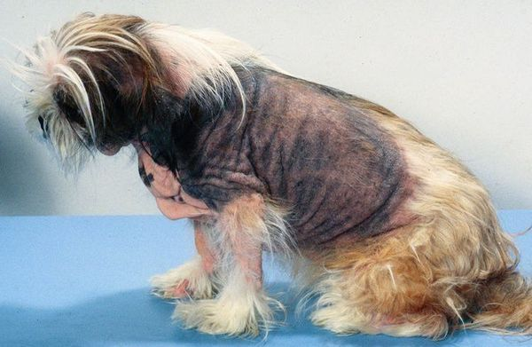 Атопічний дерматит у собаки