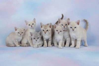 Austrálska hmlová mačka: hmla alebo mix?