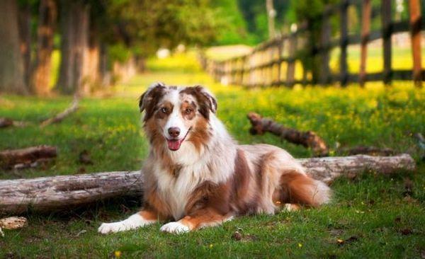 Якщо ви утримуєте австралійську собаку у власному будинку, не варто обмежувати її прогулянки невеликим вольєром або по двору, їй необхідні великі території