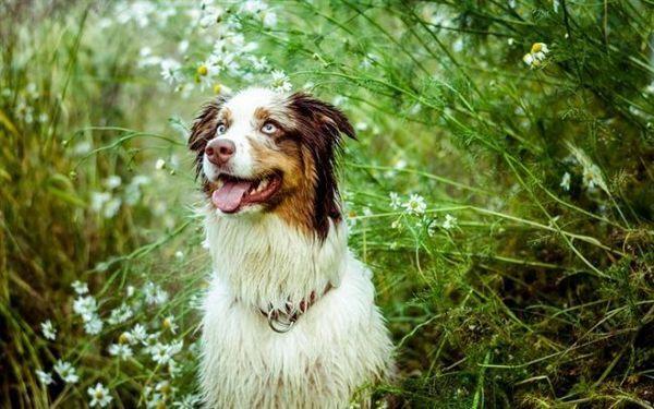 Щеня австралійської вівчарки потребує більш тривалому вигулі, ніж доросла собака