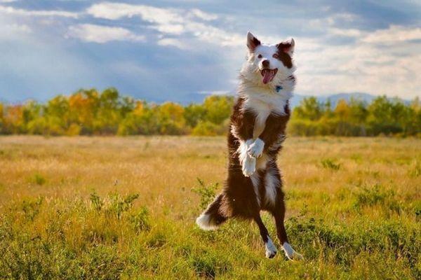 Австралійська вівчарка, купити яку ви вирішили в якості друга сім`ї, вимагатиме активних тренувань зі спортивними снарядами, часті дресирування, цікаве проведення часу