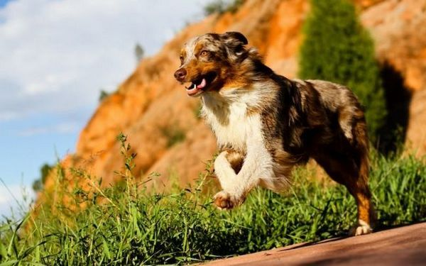Батьківщиною породи вважається Америка, де вона була виведена схрещуванням декількох видів коллі і піренейській вівчарки