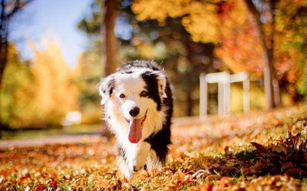 Важливо зі щенячого віку знайомити собаку з друзями і членами сім`ї. Собака цієї породи не переносить самотності