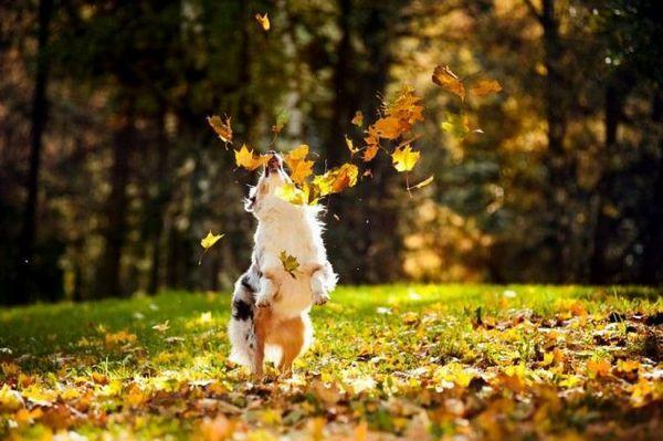 Австралійська вівчарка має шерсть середньої довжини, і тому потребує регулярного розчісування (не менше 2-4 разів на тиждень). У період линьки собаку необхідно розчісувати щодня, інакше її «шубка» буде збиватися в ковтуни