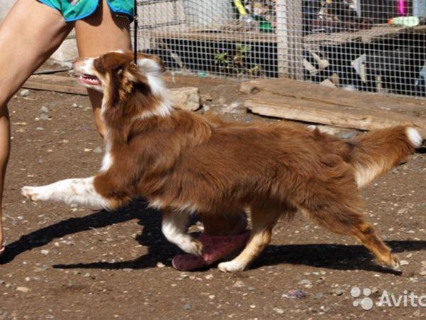 Опис собак ауссі