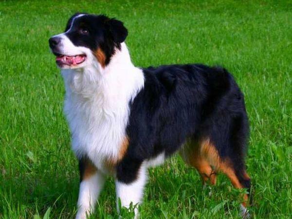 Зовнішні дані собаки ауссі
