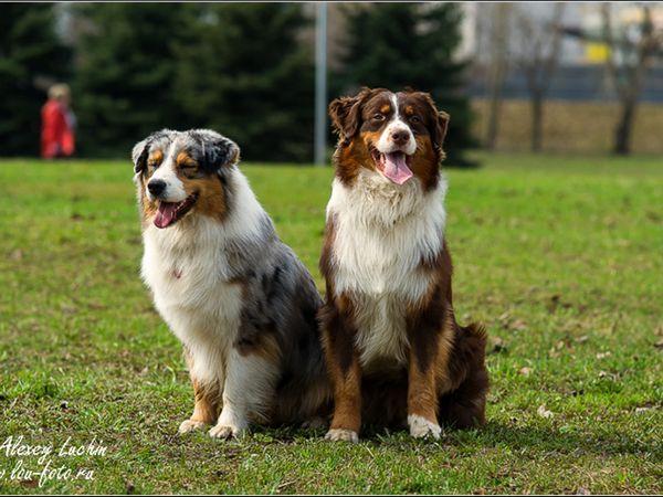 Зовнішній вигляд собак ауссі