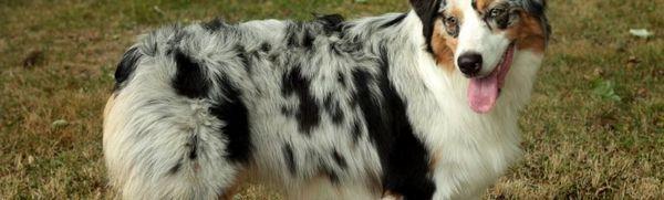 Austrálsky ovčiak: charakteristika plemena a vlastnosti obsahu