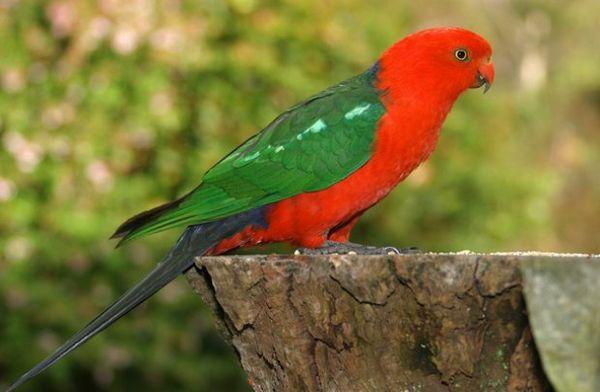 королівський папуга, королівський папуга ціна, амбоінскій королівський папуга, австралійський королівський папуга