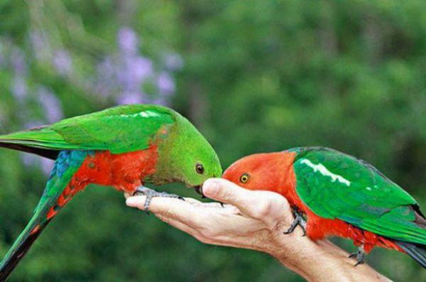 королівські папуги