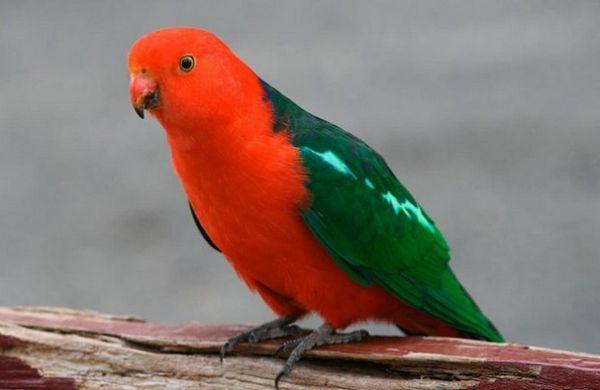 Королівський папуга