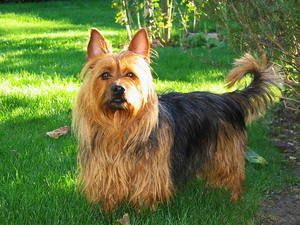 Порода собак австралійський тер`єр