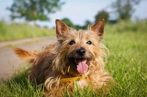 Опис породи собаки австралійський тер`єр
