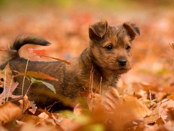 австралійський тер`єр щеня