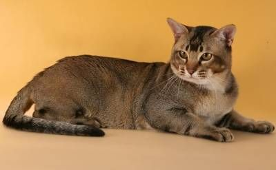 Ázijská mačka: farebná nádhera