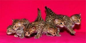 бенгальські кошенята