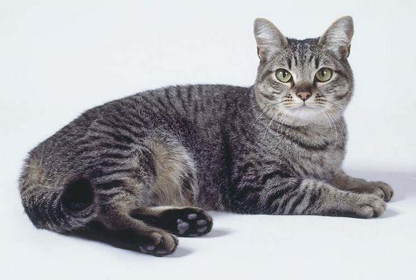 загальні характерісткі кішок породи Азіатська таббі