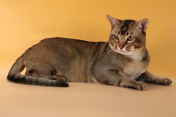 характер кішок породи Азіатська таббі
