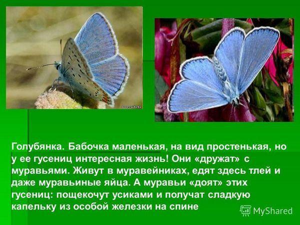 Як розмножується метелик адмірал