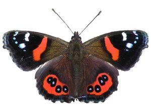 Де живуть метелики
