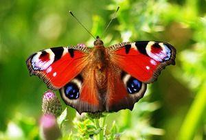 Denný páví motýľ: popis a fotografia