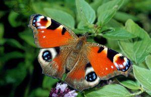 Метелик Павиний очей крупним планом