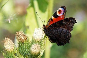 Фото красивих метеликів - павине око.