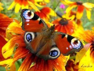 Павине око харчується квітковим пилком.