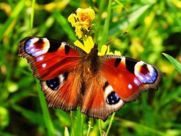 Велика метелик Павлиний очей - одна з найбільших в світі.