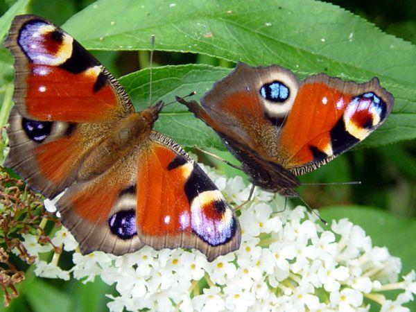 Дуже красиві і великі метелики Павлиний очей - фото