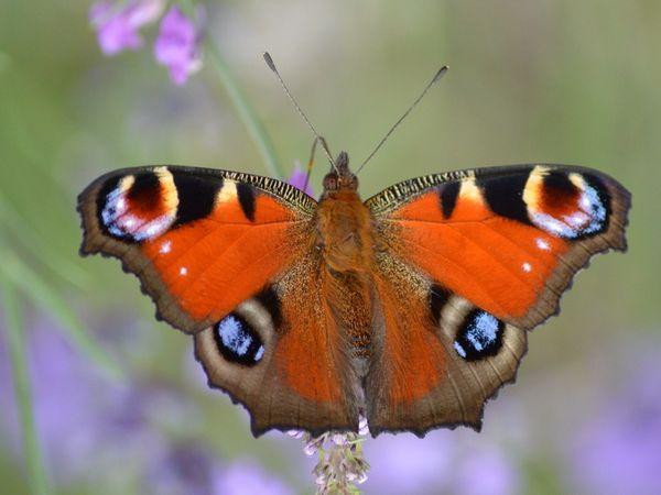 Лускокрилі або метелики - це красиві комахи.