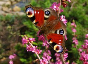 Де можна побачити метелика Павлиний очей