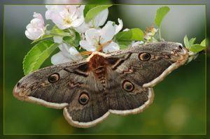 Popis pávieho motýľa