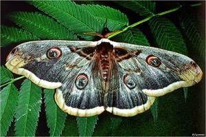 Kde žije motýľ pávieho oka?