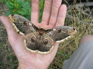 Ako sa stravuje motýľ