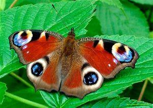 Páv motýľ: vlastnosti a vlastnosti